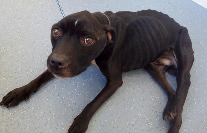 Когда инспектор «Королевского общества защиты животных от жестокого обращения» забрал Макси, чтобы отвести к ветеринару на осмотр, они останавливались каждые несколько шагов  в мире, великобритания, голод, животные, истощение, наказание, собака, суд