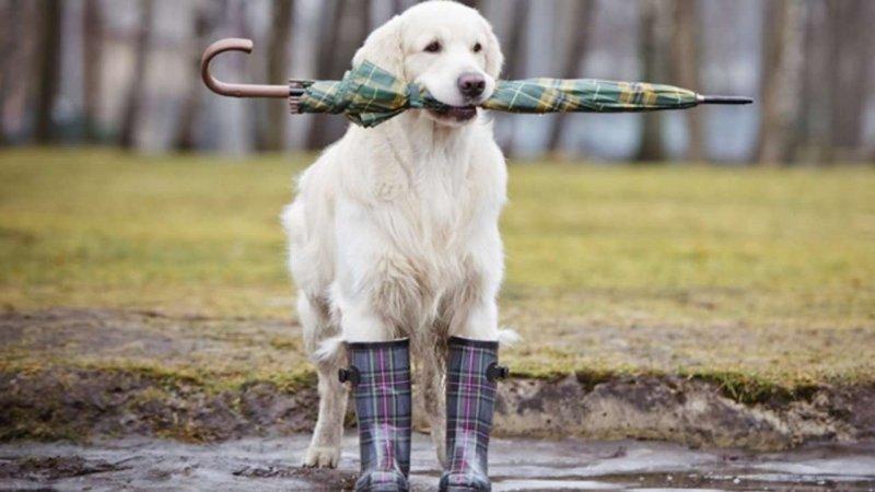 Большим собакам - большие лужи  дождевик, животные, костюмы для животных, мило, собаки, фото