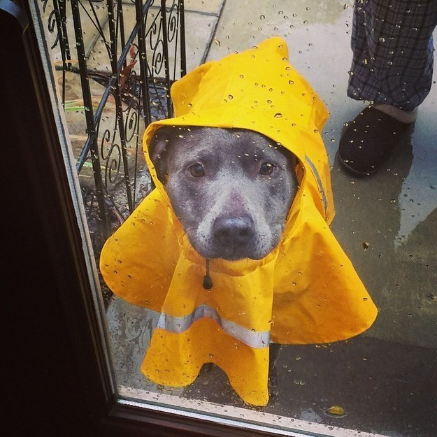 И как такие глаза не впустить? дождевик, животные, костюмы для животных, мило, собаки, фото