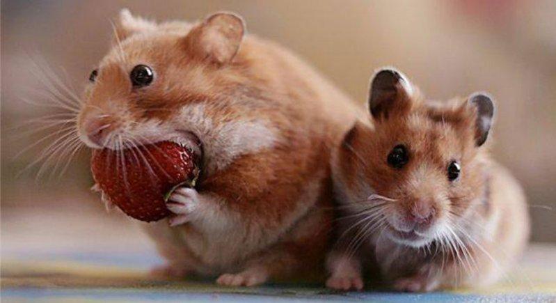 Некоторые люди тоже так выглядят, когда на даче пошла первая ягода белки, животные, орешки, смешно, фото, хомяк