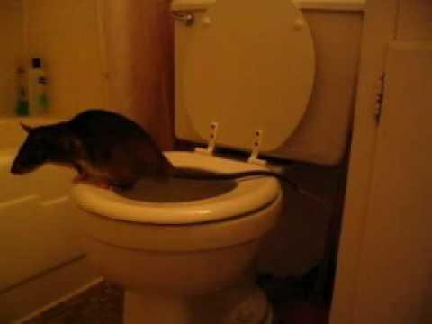 Даже крысу можно научить! Не сдавайтесь  животные, милота, приучили к туалету, умные животные, фото
