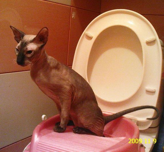 Можно использовать специальные насадки, как для маленьких детей  животные, милота, приучили к туалету, умные животные, фото