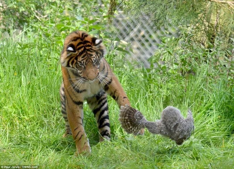 В британском зоопарке совёнок смог отбиться от тигра, упав в вольер к хищнику животные, сова, тигр