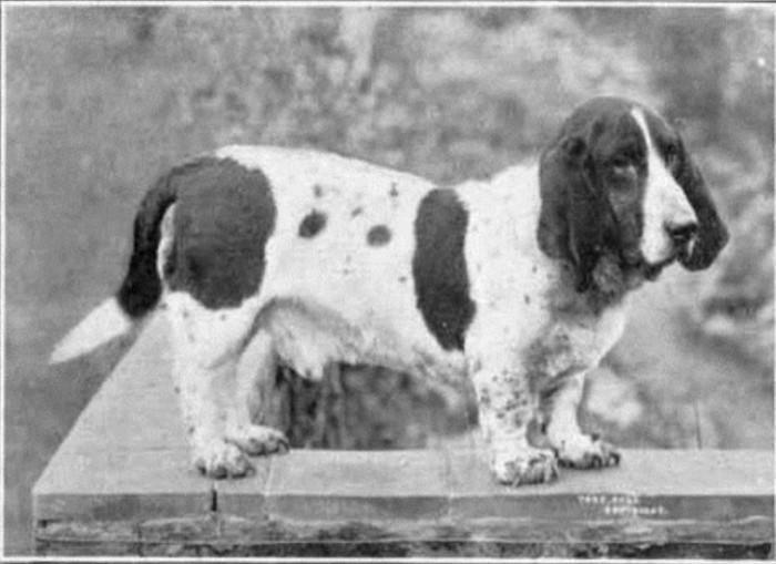 Бассет-хаунд животные, интересное, собаки