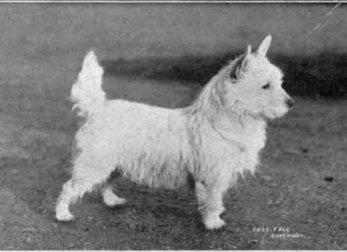 Вест-хайленд-уайт-терьер животные, интересное, собаки
