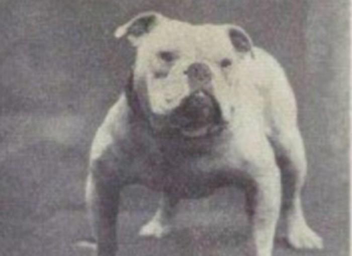 Английский бульдог животные, интересное, собаки