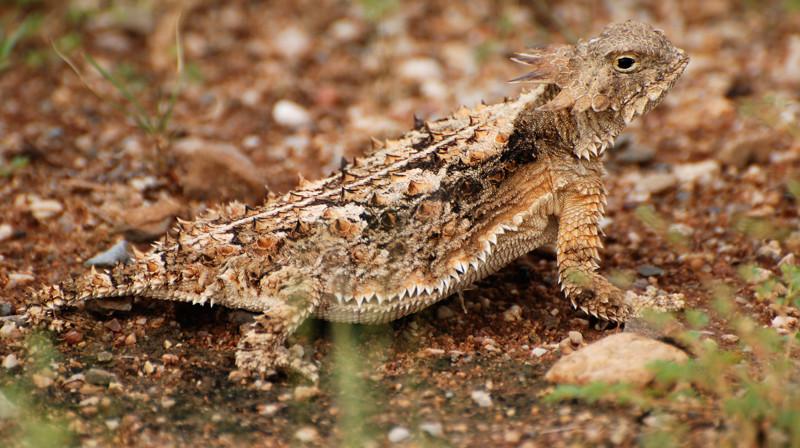 Жабовидные ящерицы стреляют кровью из глаз в мире, животные, природа, способность, супергерои, суперспособности, удивительно