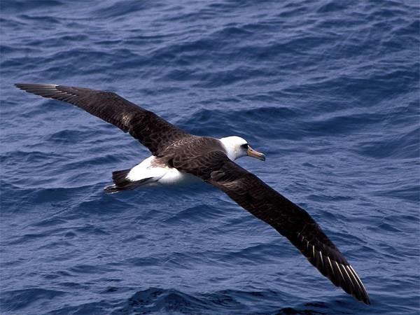 Темноспинный альбатрос – птица самолет в мире, животные, природа, способность, супергерои, суперспособности, удивительно