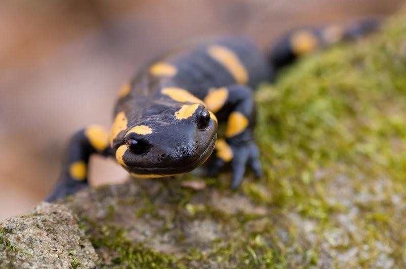 Саламандры могут восстанавливать свои конечности в мире, животные, природа, способность, супергерои, суперспособности, удивительно