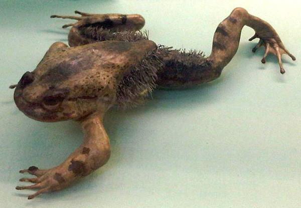 Волосатая лягушка может сломать свои кости и превратить их в когти в мире, животные, природа, способность, супергерои, суперспособности, удивительно