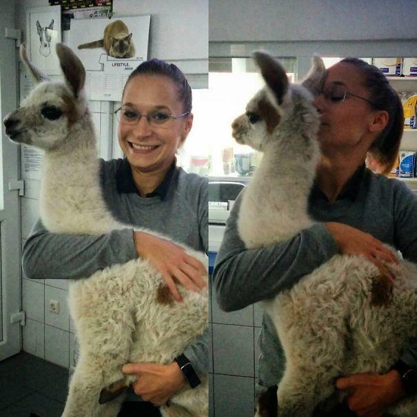 Работа с детенышами - это счастье! Новорожденная лама, которой не исполнилось и недели братья наши меньшие, ветеринар, врач, доктор, животные, питомцы, работа, фото