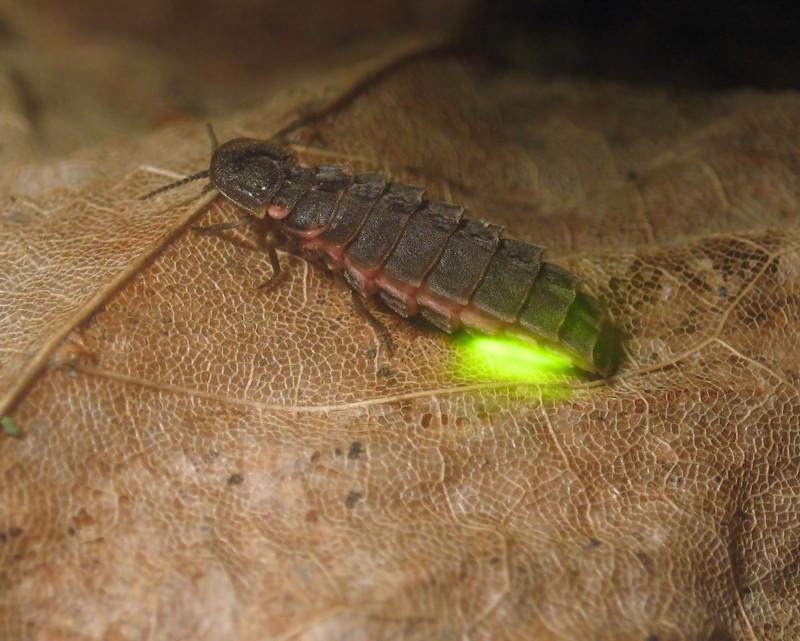 Светлячки - живые фонарики животные, интересно знать, светлячки, факты