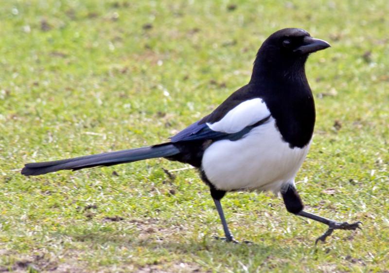 Сорока, то что вы о ней не знали животные, интересно знать, птицы, сорока, факты
