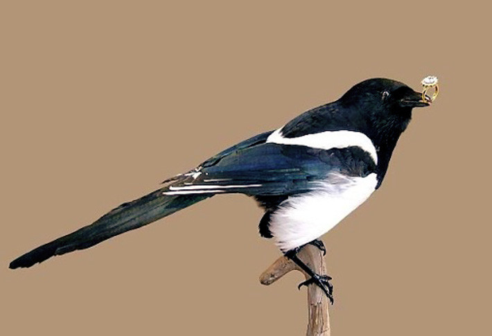 14. Сороки очень любят блестящие предметы. Птицы украшают этими безделушками свои гнезда, чтобы доставить себе радость и привлечь потенциального партнера. животные, интересно знать, птицы, сорока, факты
