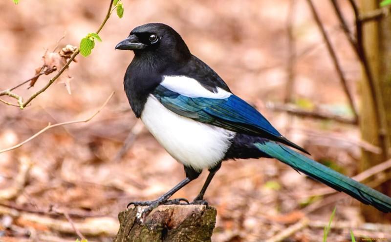 3. Сороки не любят густые леса, и охотно селятся поближе к людям. животные, интересно знать, птицы, сорока, факты
