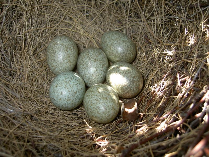 7. Сороки начинают откладывать яйца раньше других птиц – в апреле и начале мая, иногда даже в марте. За один раз сороки откладывают 7-8 яиц, которые самка высиживает 18 дней. животные, интересно знать, птицы, сорока, факты