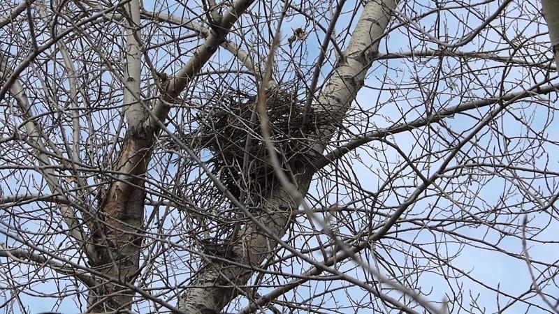 5. Сороки образуют устойчивые пары. Гнездо строят обе птицы оно имеет форму шара с небольшим отверстием, которое служит входом. Вход всегда обращен строго на юг.. животные, интересно знать, птицы, сорока, факты