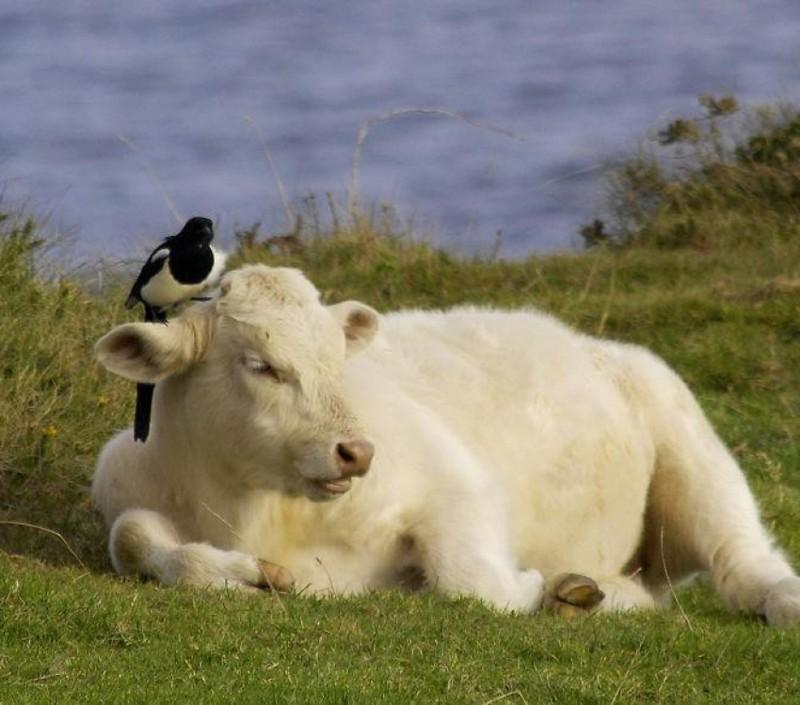 18. Сороки собирают клещей из шкур крупных животных, усаживаясь к ним на спину. Птицы также могут вытягивать уже впившихся паразитов. животные, интересно знать, птицы, сорока, факты