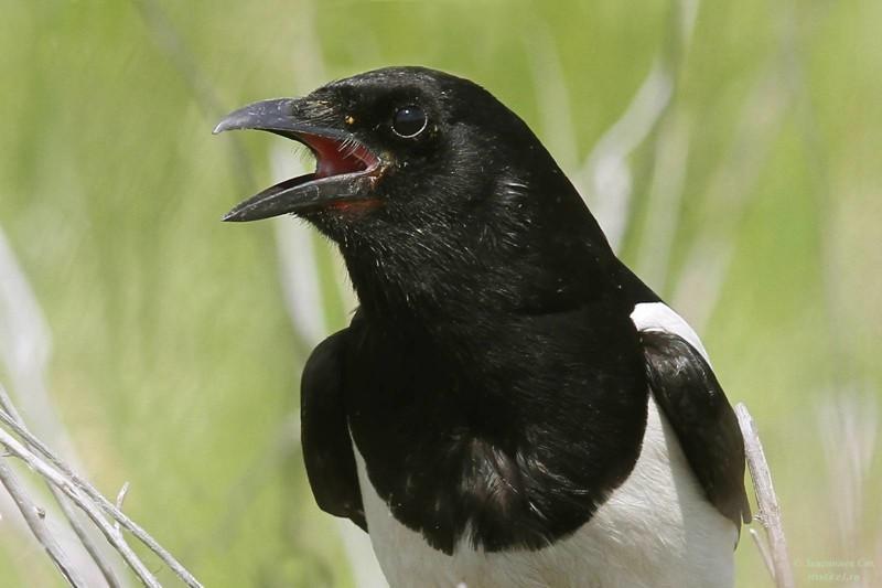 2. Сороки – одни из самых умных птиц, существующих в природе. У них есть сложные социальные ритуалы, которые, в частности, служат для выражения печали.  животные, интересно знать, птицы, сорока, факты