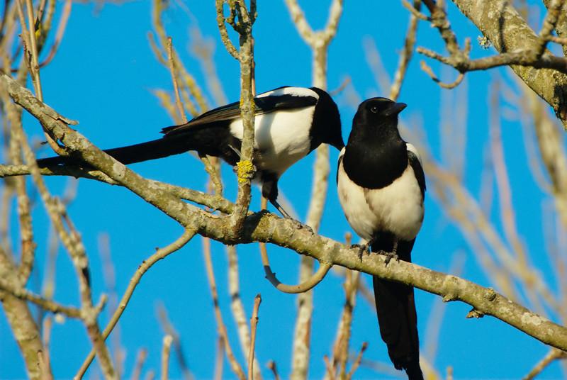 9. Сороки относятся к оседлым птицам, они никогда надолго не улетают от своего жилища. В местах, где обитает их большое количество, они иногда образуют стаи и таким образом вместе кочуют. животные, интересно знать, птицы, сорока, факты