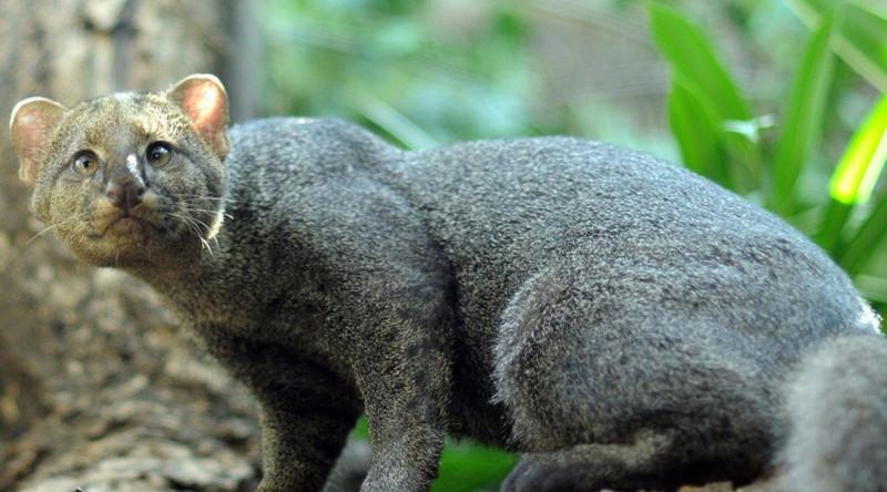 Ягуарунди в мире, живность, животные, интересное, коты, кошки, подборка, хищник