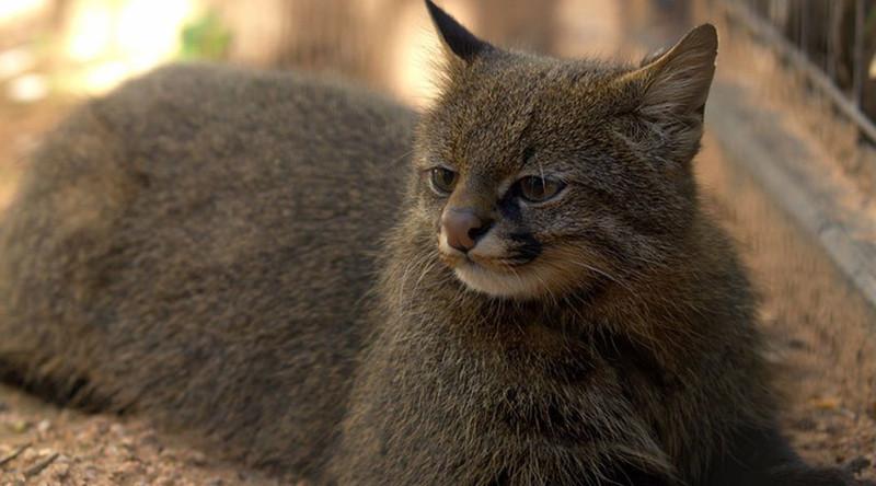 Пампасская кошка в мире, живность, животные, интересное, коты, кошки, подборка, хищник