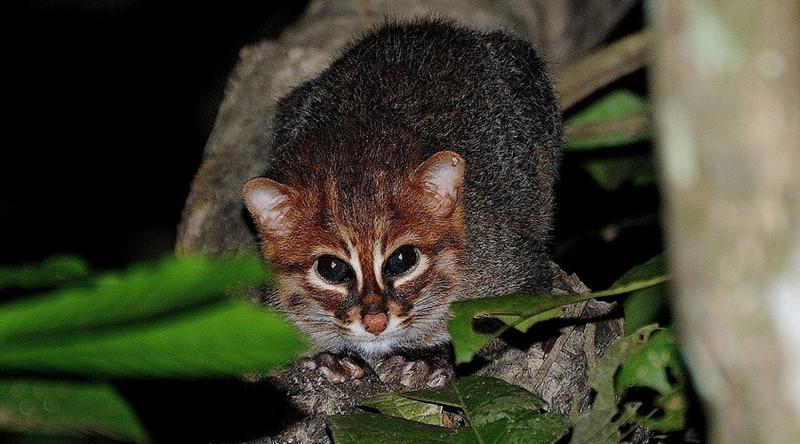 Суматранская кошка в мире, живность, животные, интересное, коты, кошки, подборка, хищник