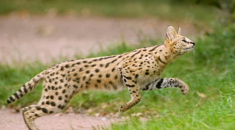 Сервал в мире, живность, животные, интересное, коты, кошки, подборка, хищник