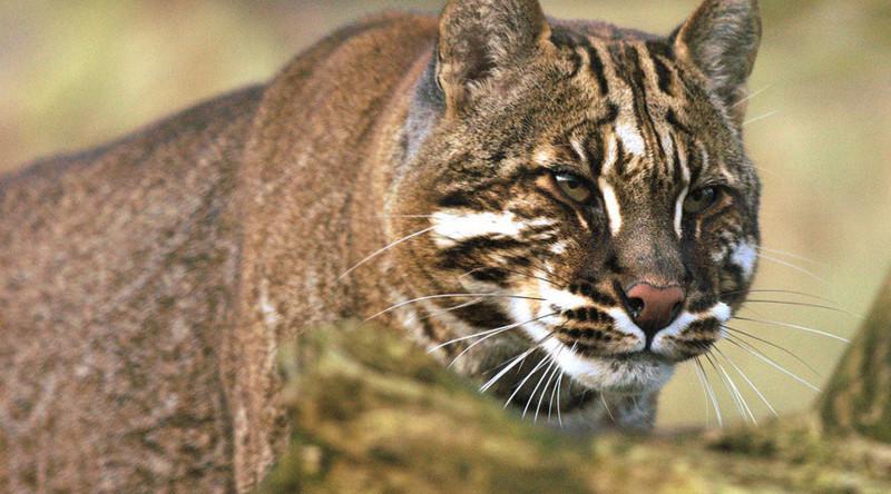 Кошка Темминка в мире, живность, животные, интересное, коты, кошки, подборка, хищник