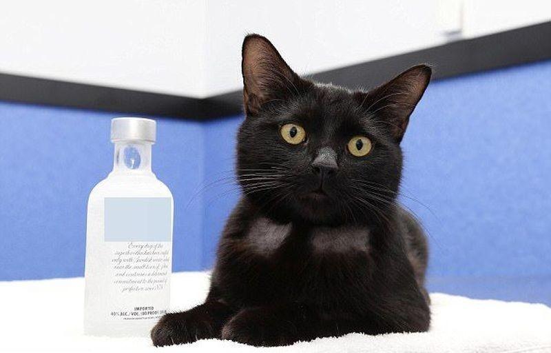 Австралийские ветеринары с помощью водки спасли отравившуюся антифризом бездомную кошку  антифриз, в мире, водка, животные, коты, кошка, спасение
