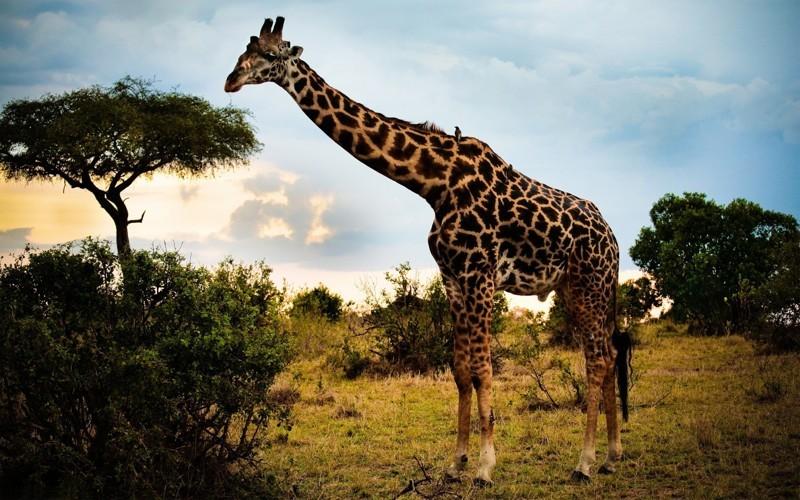 Жираф животные, интересные факты, необычно, поведение, сон, факты