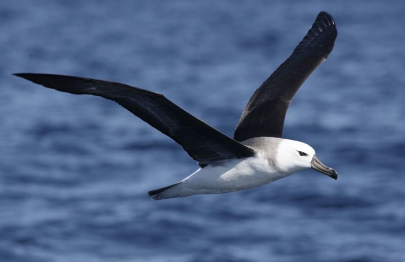 Альбатросы животные, интересные факты, необычно, поведение, сон, факты