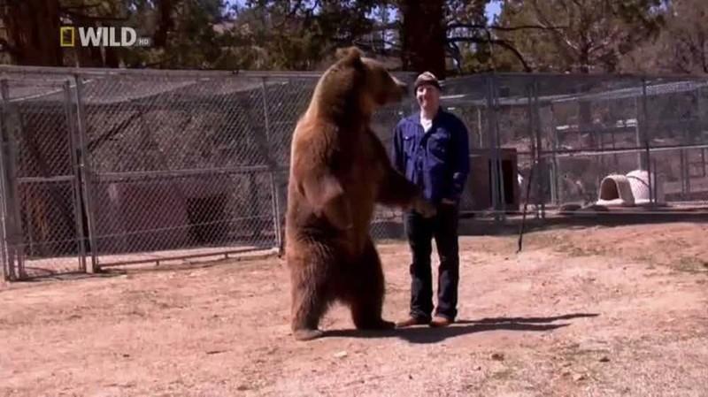 6. Нападение гризли на дрессировщика со смертельным исходом, 2008 г. дикие животные, нападение медведя, нападение хищника