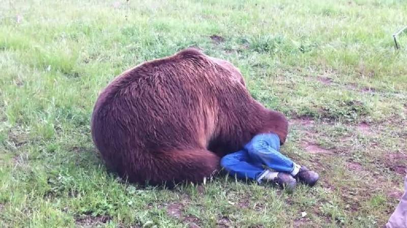 7. Нападение гризли на сотрудника центра для диких животных в Монтане, 2012 г. дикие животные, нападение медведя, нападение хищника