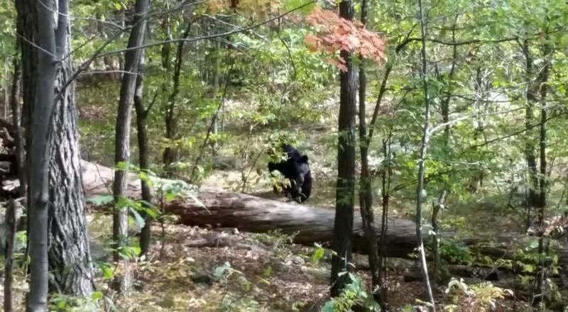 10. Нападение потревоженного медведя на фотографа-любителя, Нью-Джерси, 2014 г. дикие животные, нападение медведя, нападение хищника