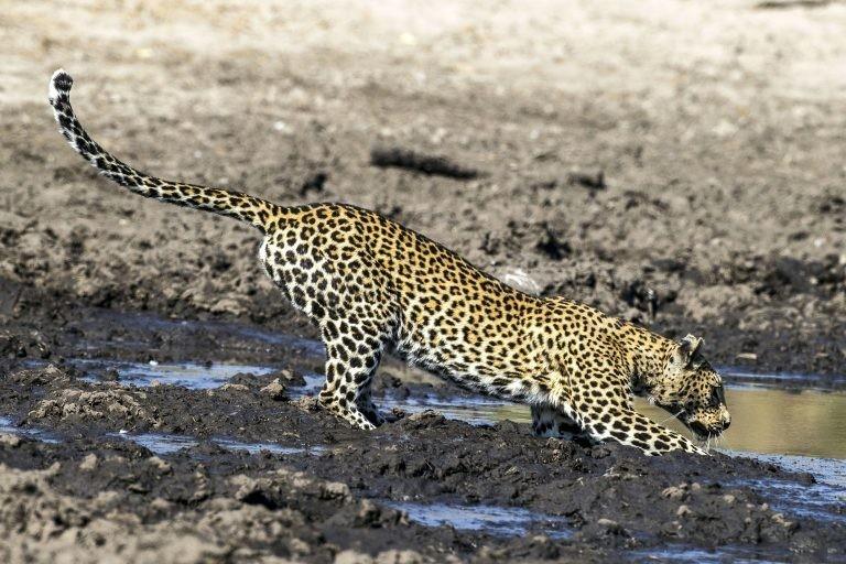 """""""В пересыхающей реке, на радость любого хищника, готового броситься в грязь, застряли косяки гигантских сомов"""" грязь, животные, леопард, мир, охота, рыба, фото"""