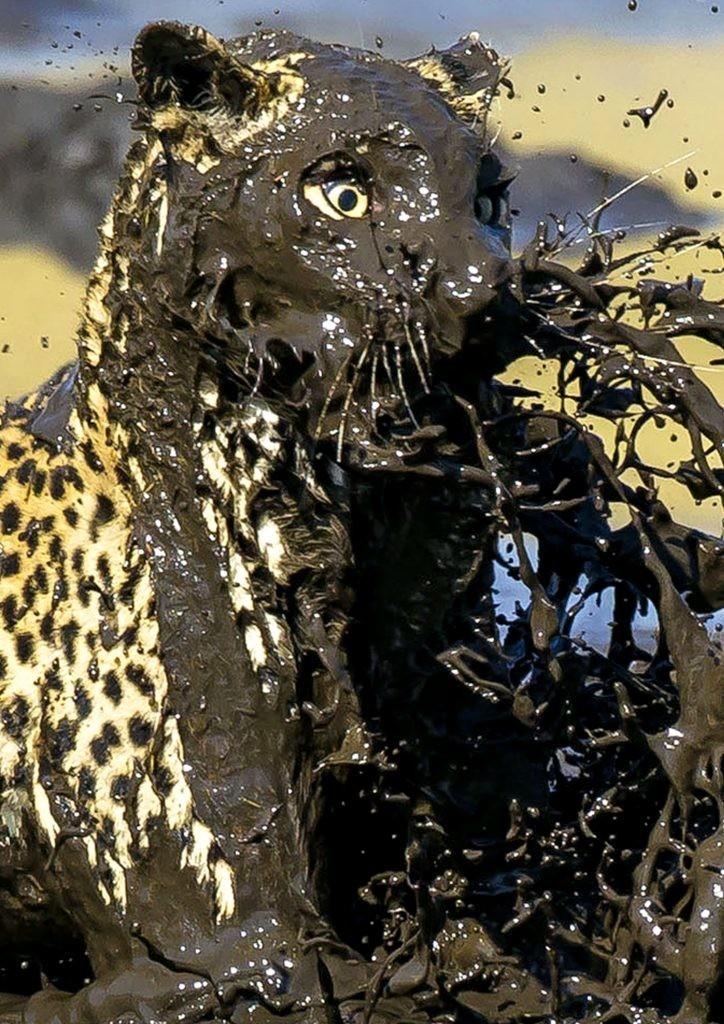 """""""Я провел много дней у этих водоемов в ожидании хищников, и наконец-то был вознагражден"""", - рассказывает Джеймс Гиффорд  грязь, животные, леопард, мир, охота, рыба, фото"""