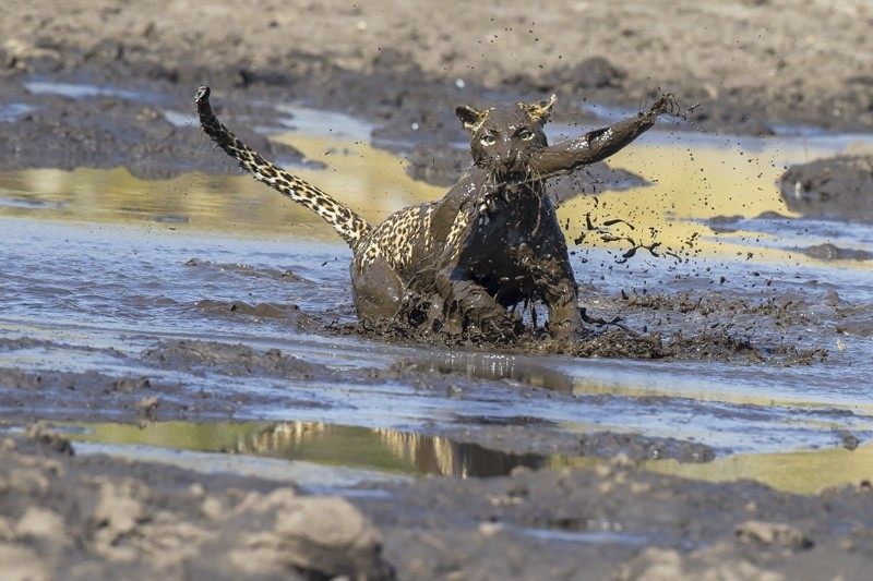 Больше грязи - шире морда: на что пошла самка леопарда ради вкусного обеда грязь, животные, леопард, мир, охота, рыба, фото