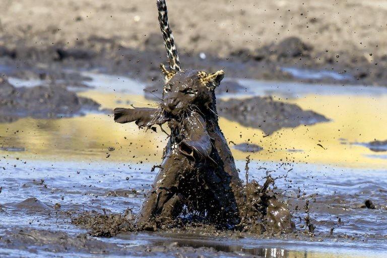 """""""Она [самка леопарда] целенаправленно направилась к воде, нырнула в грязь и с первой же попытки вытащила сома""""  грязь, животные, леопард, мир, охота, рыба, фото"""