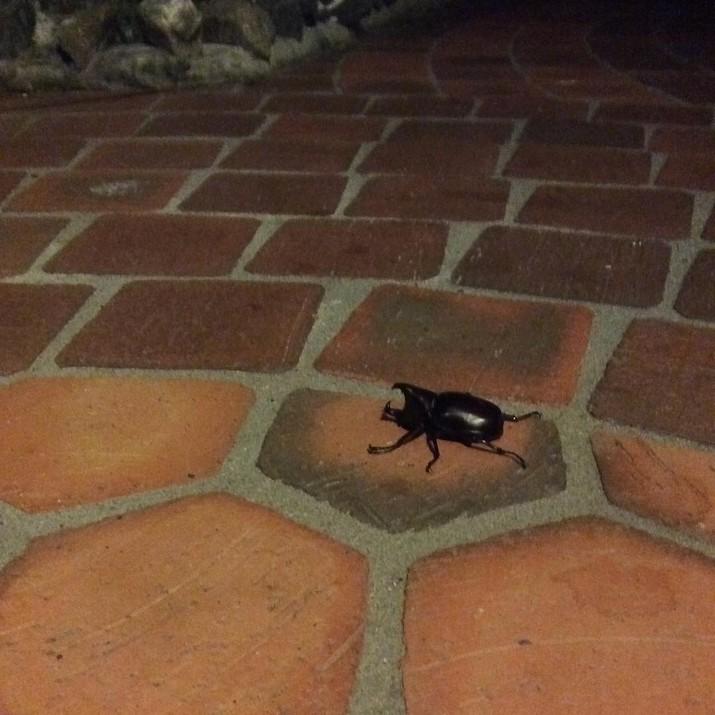 Когда жук-носорог просто по-соседски забежал на огонек австралия, в мире, животные, насекомые, подборка, прикол, юмор
