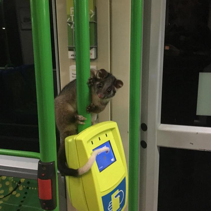 И когда в общественном транспорте в Мельбурне катаются настоящие зайцы. Ну, не совсем зайцы… австралийские зайцы, во! Добро пожаловать в Австралию! австралия, в мире, животные, насекомые, подборка, прикол, юмор