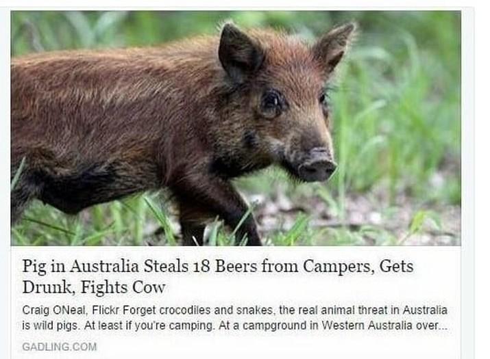 Когда кабан украл у кемперов пиво, напился и подрался с коровой. WTF?! австралия, в мире, животные, насекомые, подборка, прикол, юмор
