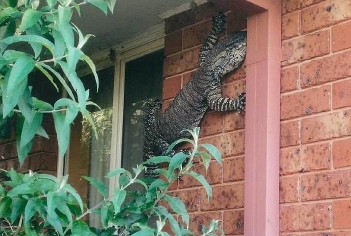 Когда гигантская ящерица решает проверить твою терпимость к гигантским ящерицам, ползающим по стенам дома австралия, в мире, животные, насекомые, подборка, прикол, юмор