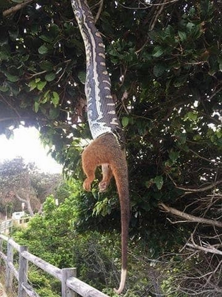 Когда змея взяла в свои руки(?) борьбу с опоссумами австралия, в мире, животные, насекомые, подборка, прикол, юмор