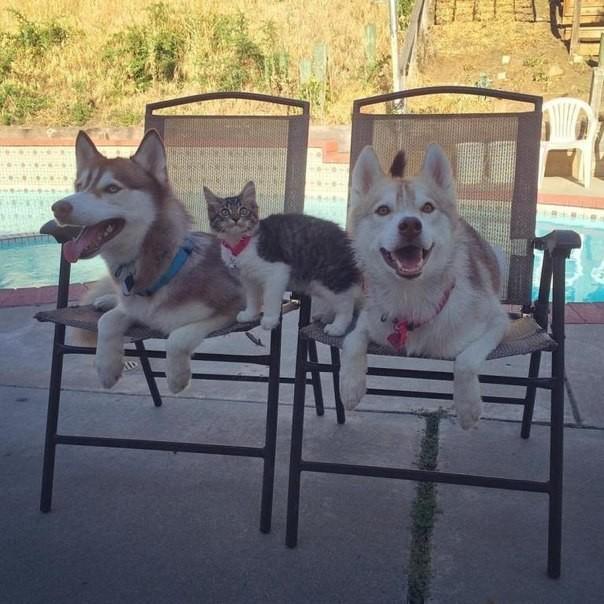 Хаски Лило выходила бездомного котёнка дружба животных, животные, кот, собака, хаски