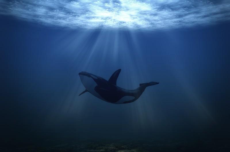 Сахалинские рыбаки спасли из сетей касатку животные, рыбаки, сахалин, спасение касатки