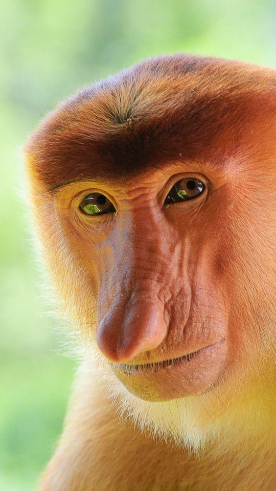 В мозгу приматов нет речевого центра, а поэтому научить их говорить невозможно.  интересное, обезьяны, факты, фауна