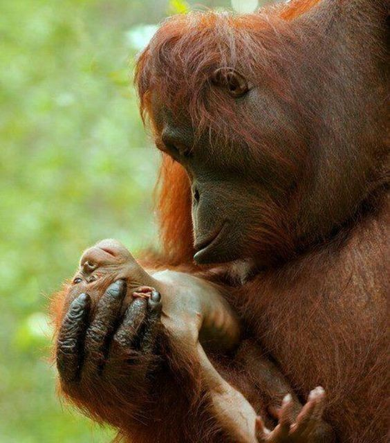 Шимпанзе, как никто другой, прирожденные эстеты, например они длительно могут наблюдать за закатом, любуясь им.  интересное, обезьяны, факты, фауна