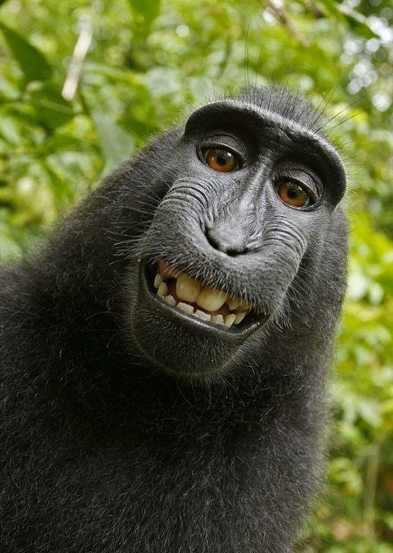 Чтобы предупредить сородичей о надвигающейся опасности орангутанги издают очень громкие звуки отрыжки. интересное, обезьяны, факты, фауна