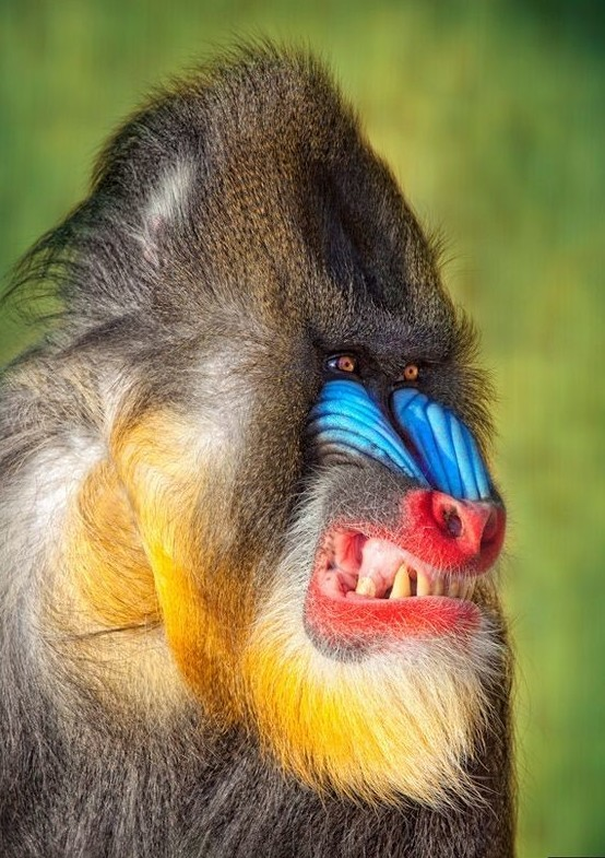 Обезьяны Нового и Старого Света различаются количеством зубов. У первых вырастает 28, у вторых, как у человека, — 32.  интересное, обезьяны, факты, фауна
